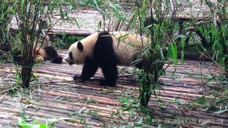 china_chengdu_pandacenter010